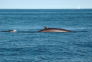 A northern fin whale surfaces off the coast of Rye New Hampshire